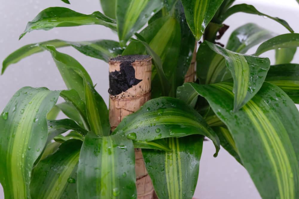 Corn Plant (Dracaena)