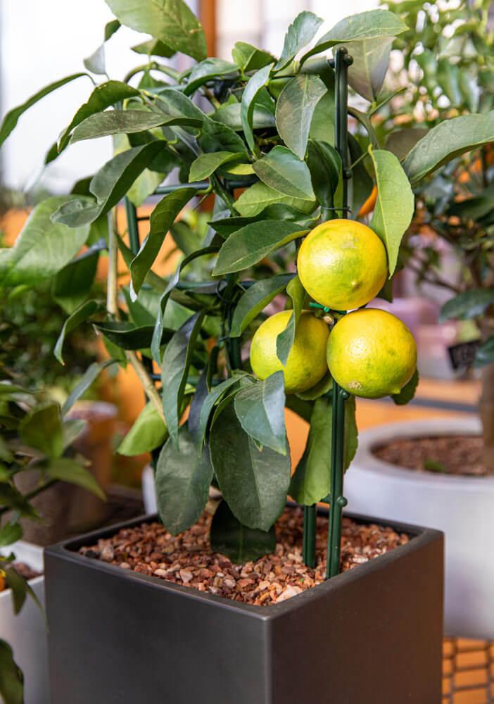 Dwarf Citrus Tree (Orange or Lemon)
